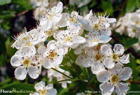 Atelier jardins Un jardin, une plante, 1001 recettes ! L'aubépine, le samedi 11 mai à 14h30