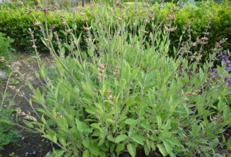 Un jardin, une plante, 1001 recettes ! Samedi 21/09, la sauge