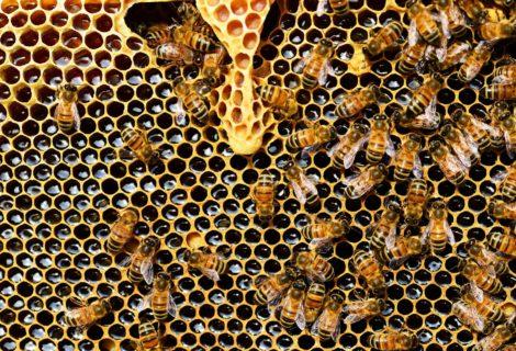 Atelier «Les abeilles, médecines de l'homme» le dimanche 18 octobre à 10h30 et 14h